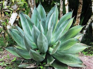 Aloe Vera ist das Symbolbild der Naturheilkunde. Die Wirkung ist allerdings nicht wissenschaftlich belegt.