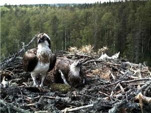 Adler, Fischadler