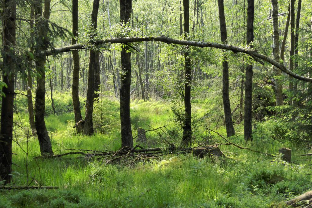 Torfmoorwälder sind gigantische Kohlenstoffspeicher. By Jan Stubenitzky (Dehio) (Own work) [CC BY-SA 3.0], via Wikimedia Commons
