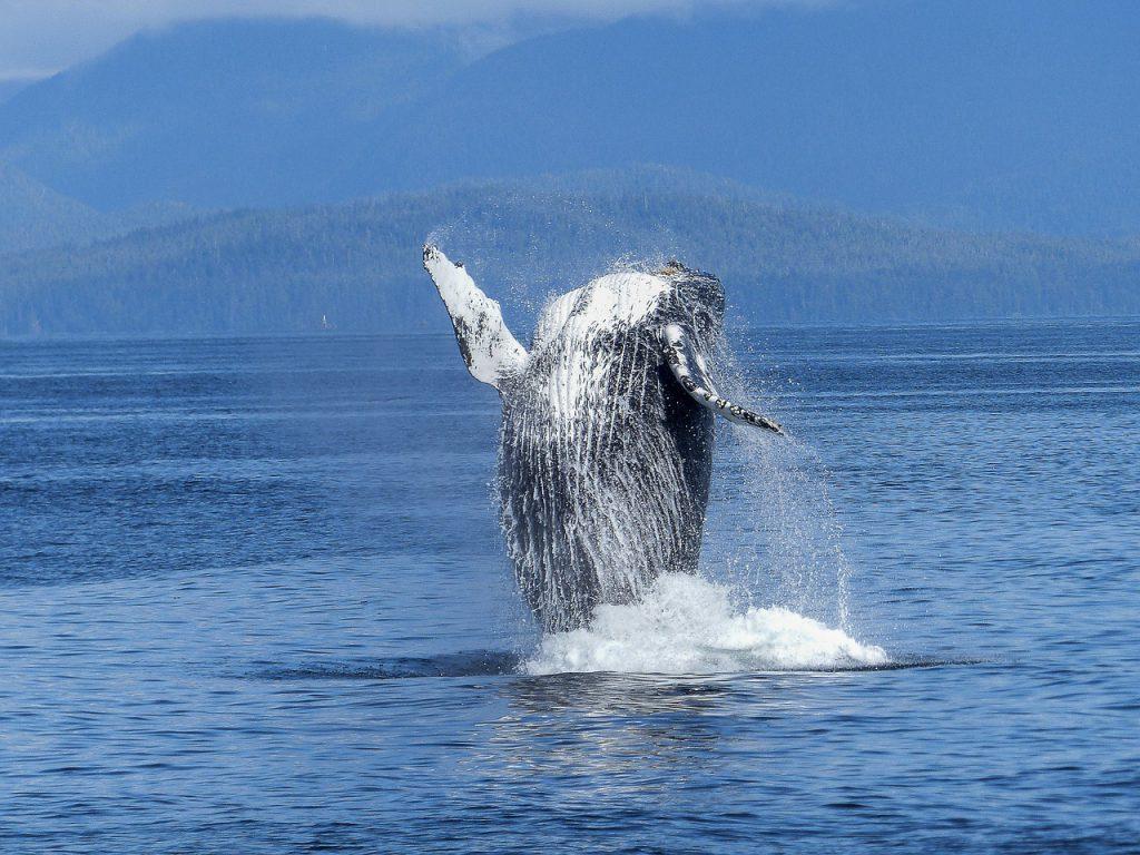 Kaum zu glauben. Aber Wale tragen einen großen Anteil zur CO2 Speicherung und Düngung der Meere bei.