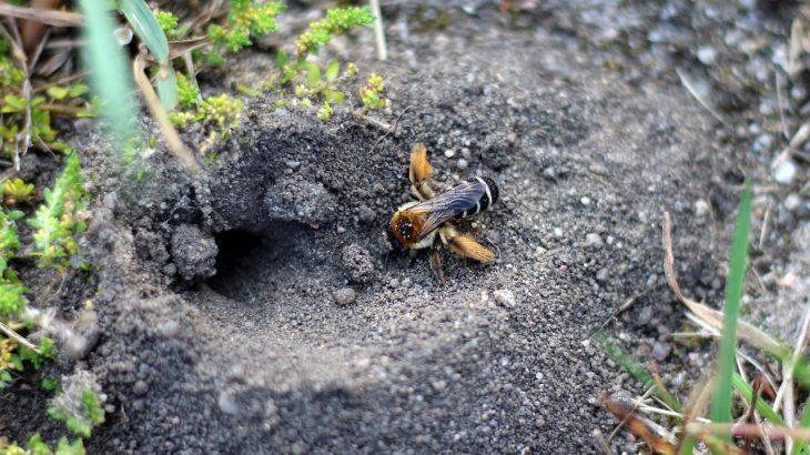 Eine Wildbiene vor ihrem Erdnest