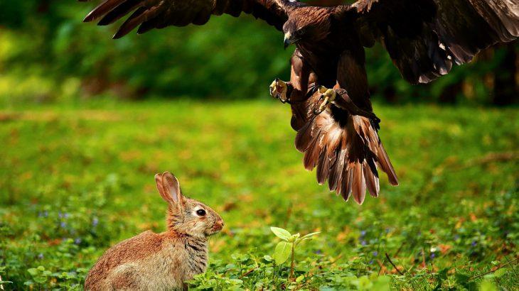 Ein Adler, der kurz davor ist, einen Hasen zu greifen