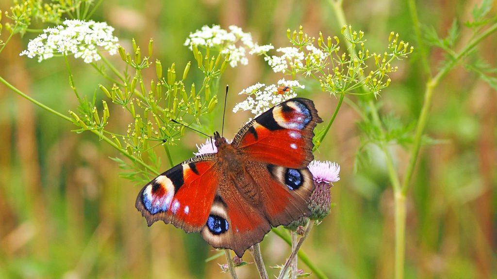 Roter Schmetterling auf einer Pflanze