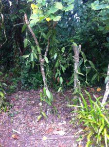 Zwei Vanillepflanzen, die sich um je einen abgestorbenen Baum schlingeln.