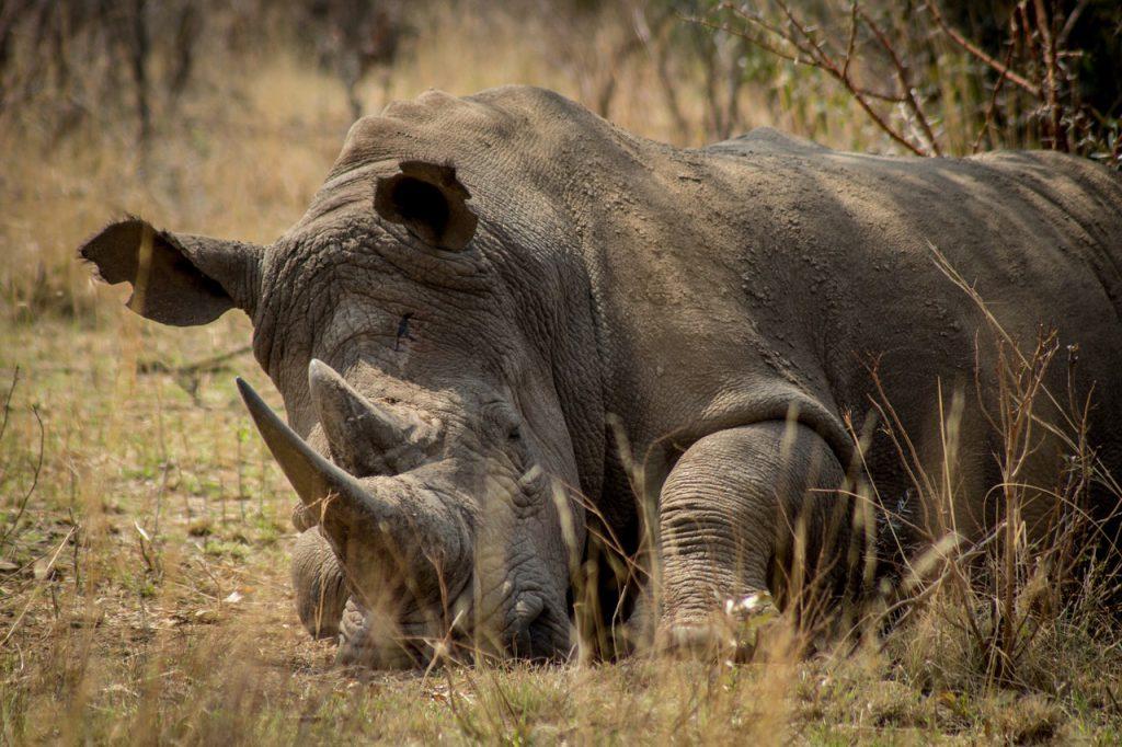 Liegendes Nashorn