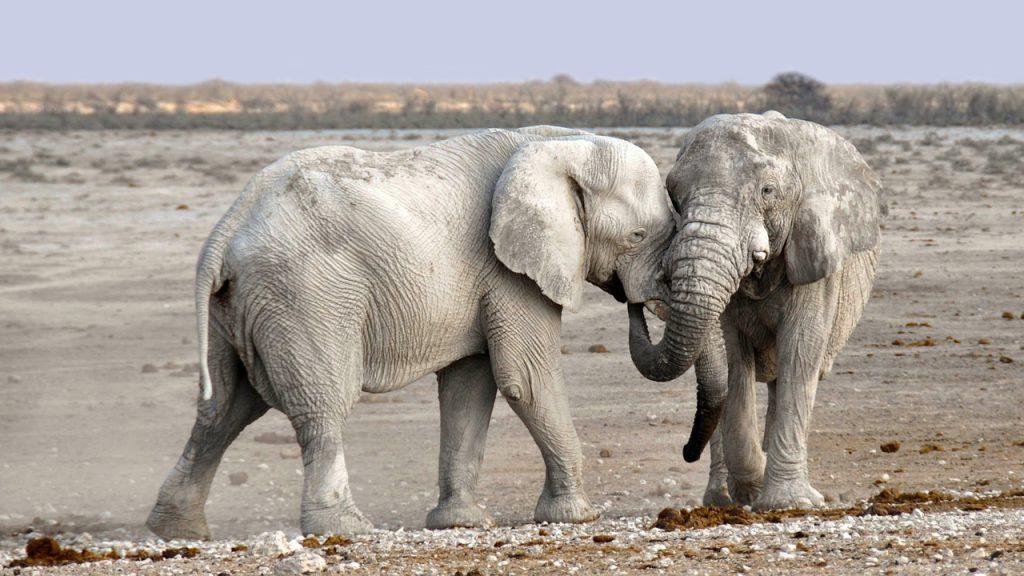 Ein Elefantenpärchen, dass sich mit den Rüsseln umschlingt