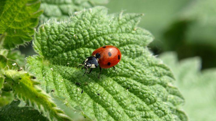 Ein Marienkäfer der auf einem Brennesselblatt sitzt.