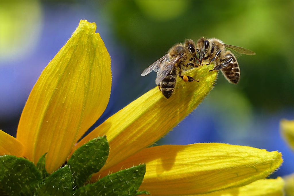Zwei Bienen, die auf einer gelben Blüte sitzen