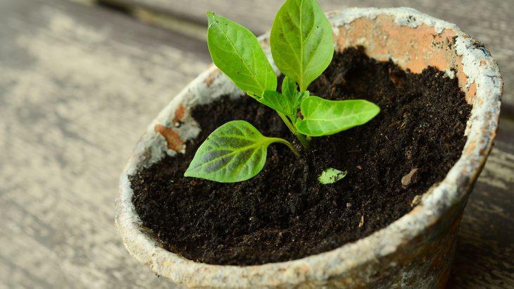 Ein Blumentopf in dem eine Jungpflanze wächst