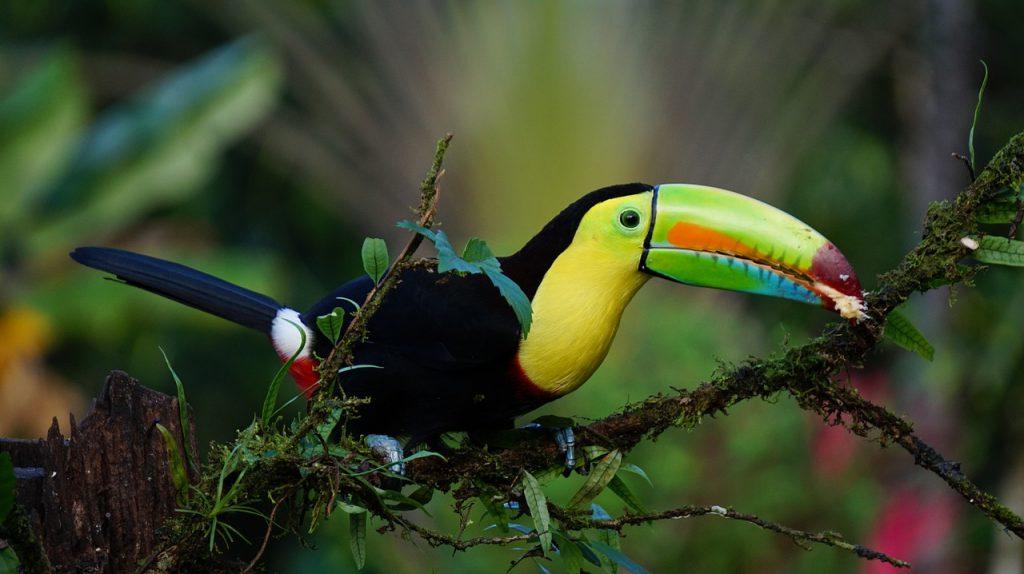 Ein Tukan, der auf einem Ast im Regenwald sitzt