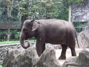 Sumatra Elefant im Zoo