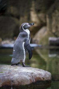 Ein Humboldt Pinguin, der auf einem Stein steht