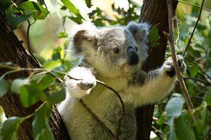 Ein Koalabär in einem Eukalyptusbaum