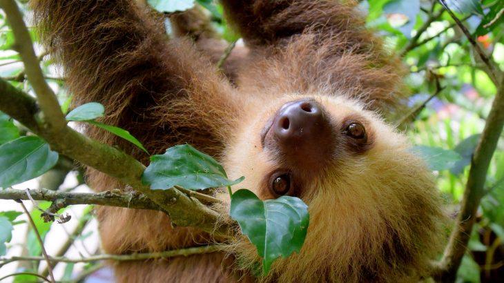 Ein Faultier, das in einem Regenwaldbaum hängt