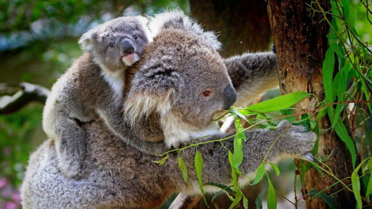 Koala mit einem Koala-Baby auf dem Rücken