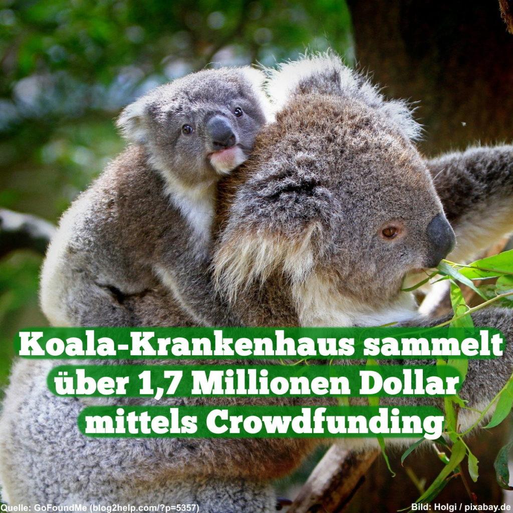 Koala-Krankenhaus sammelt über 1,7 Mio. $ mittels Crowdfunding