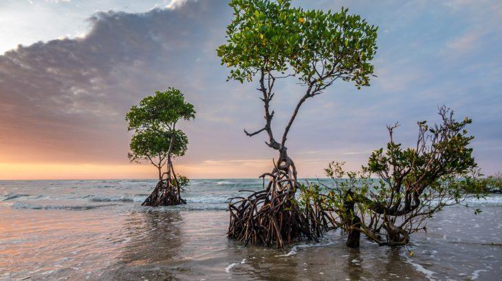 Mangroven im Baum