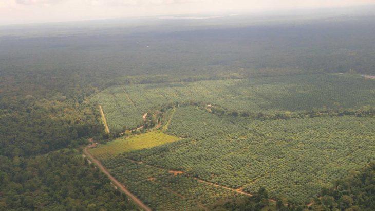 Eine Palmölplantage im Regenwald auf Borneo