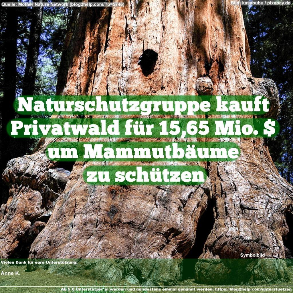 Naturschutzgruppe kauft Privatwald um Mammutbäume zu schützen