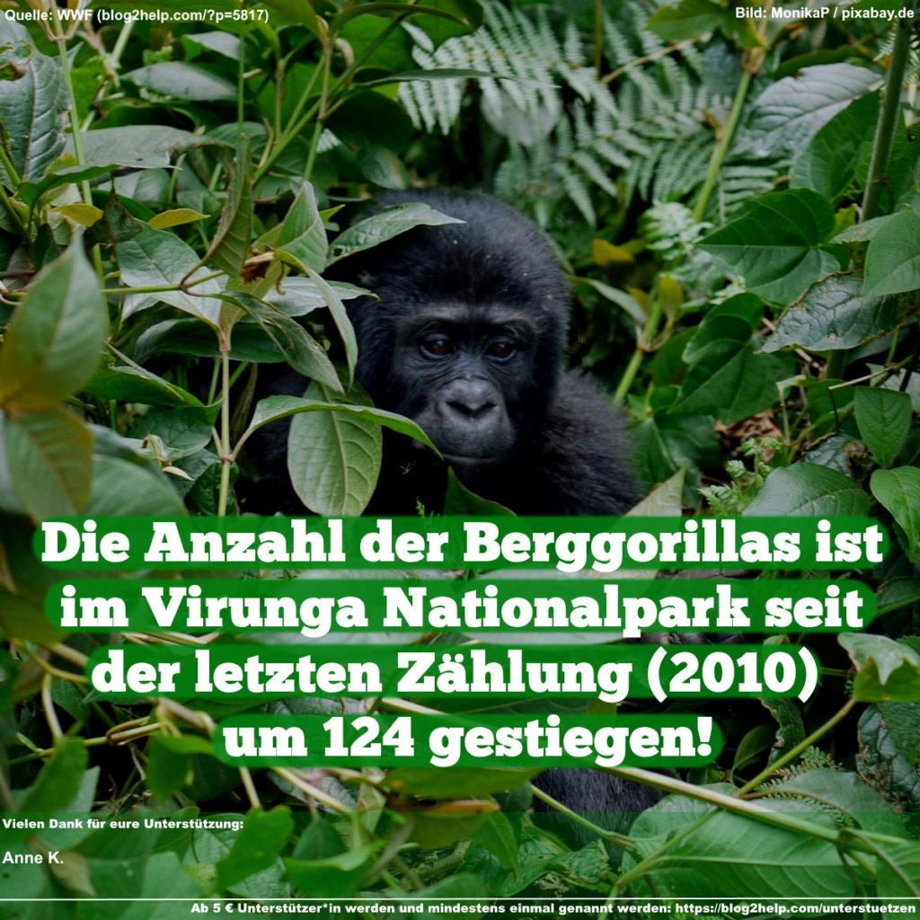 Die Anzahl der Berggorillas ist im Virunga Nationalpark seit der letzten Zählung 2010 um 124 gestiegen!