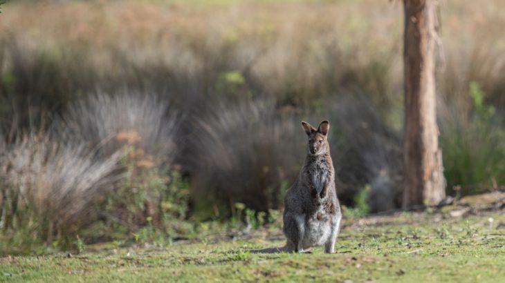 Australien Känguru in der Steppe